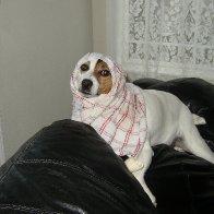 Jack Russell Terrorist- oops terrier.