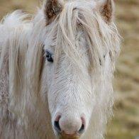 Carneddau Wild Pony