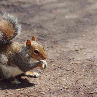 GreySquirrel.JPG.jpg