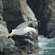 Gull Flying At South Stack