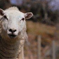 A Curious Ewe