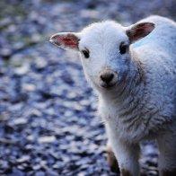A curious little lamb