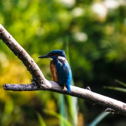 kingfisher 1.jpg