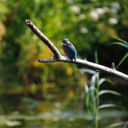 kingfisher 4.jpg