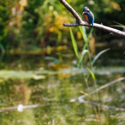 kingfisher 5.jpg