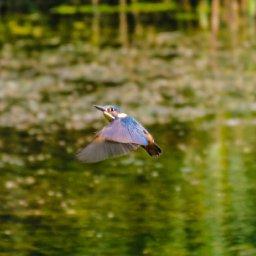 kingfisher 6.jpg