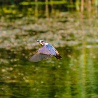 kingfisher 6