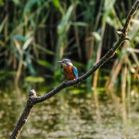 kingfisher 8