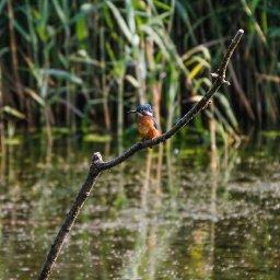 kingfisher 9.jpg