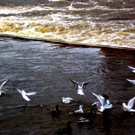 Gulls on River Dee @ Llangollen