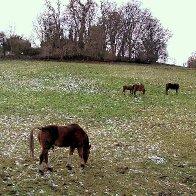 Horses at Mold 2