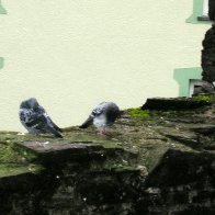 Pigeons @ Conwy Castle