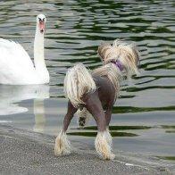 A swan and Dasha