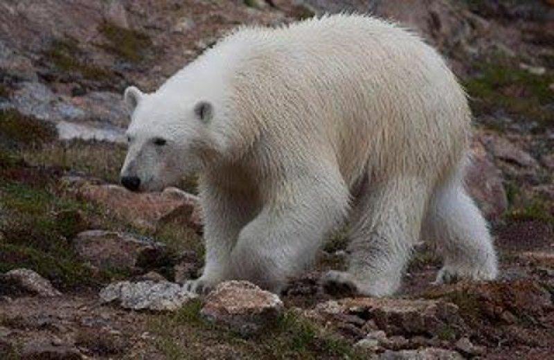 Polar Bear - Greenland