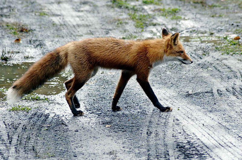 800pxRed_fox_on_road.jpg