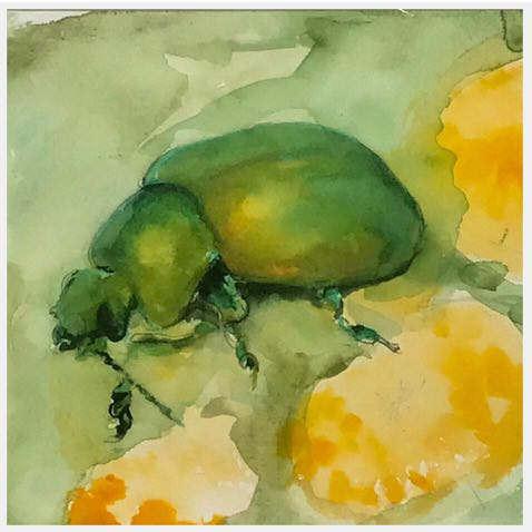 tansy beetle.jpg