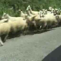 SheepRun