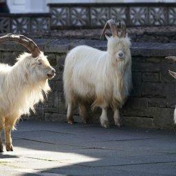 photos-wild-goats-roam-through-an-empty-welsh-town